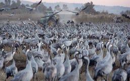 Flyttfåglar i naturreserven i Israel Arkivfoto