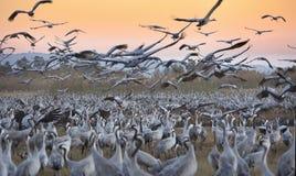 Flyttfåglar i naturreserven i Israel Arkivbild