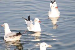 Flyttfåglar i sjön Arkivbild
