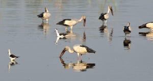 Flyttfåglar kom till Bhopal royaltyfri bild