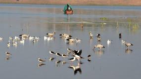 Flyttfåglar kom till Bhopal fotografering för bildbyråer