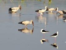 Flyttfåglar kom till Bhopal royaltyfri foto