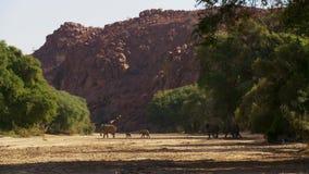 Flyttning av elefanter Flock av elefanter Afton i den afrikanska savannahen royaltyfri foto