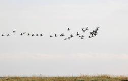 Flyttning av gemensamma ejdrar ovanför Falsterbo, Sverige Royaltyfria Bilder