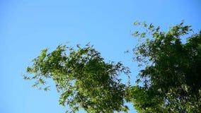Flyttning för bambuträdöverkant med vind arkivfilmer