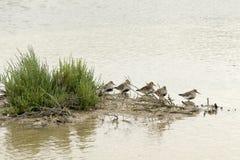 Flyttning för guld- brockfågel royaltyfri foto