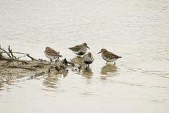 Flyttning för guld- brockfågel fotografering för bildbyråer