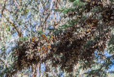 Flyttning för monarkfjäril Fotografering för Bildbyråer