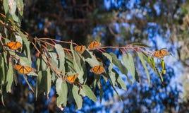 Flyttning för monarkfjäril Arkivfoton