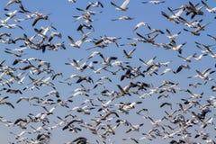 Flyttning för nedgång för snögäss, enormt flyga för flockar royaltyfria foton