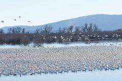 Flyttning för snögäss royaltyfria bilder
