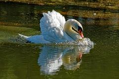 Flyttning för stum svan som ska anfallas Royaltyfri Bild