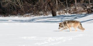 Flyttningar för grå färgWolf (Canislupus) lämnade Along snöig Riverbed Royaltyfri Foto
