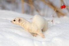Flyttningen av minst vessla kastar snöboll under trädet Arkivfoton