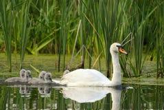 Fêmea a cisne muda com pintainhos Imagens de Stock