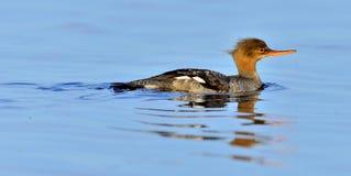 Fêmea de peito encarnado do merganso, Mergus Serrator, nadando Imagens de Stock