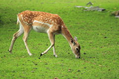 Fêmea persa dos cervos de fallow Fotografia de Stock Royalty Free