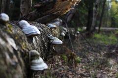 Fnöskechampinjon på stammen av ett gammalt stupat träd royaltyfria foton