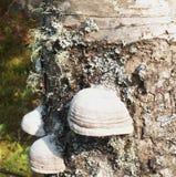 FnöskePolypore tillväxt på träd Royaltyfri Bild