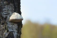 Fnöskesvamp på träd Arkivbild