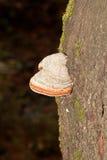 Fnöskesvamp på trädstammen Arkivfoto