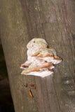 Fnöskesvamp på trädstammen Arkivfoton