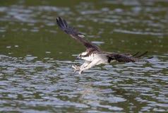 Fångande fisk för FISKGJUSE Arkivfoton