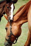 foal άλογο Στοκ Φωτογραφίες