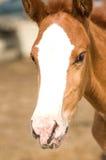 foal άλογο Στοκ Εικόνες