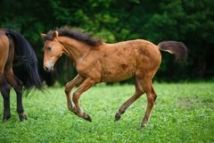 Foal άλογο με τη μητέρα της Στοκ φωτογραφία με δικαίωμα ελεύθερης χρήσης