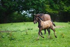 Foal άλογο με τη μητέρα της Στοκ Εικόνες