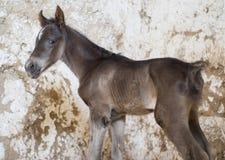 Foal άλογο που στέκεται στο βρώμικο τοίχο Στοκ φωτογραφία με δικαίωμα ελεύθερης χρήσης