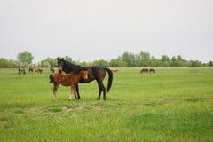 foal άλογο Στοκ εικόνα με δικαίωμα ελεύθερης χρήσης