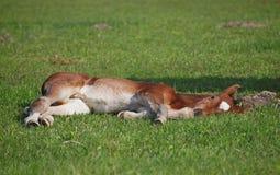 Foal έχει ένα υπόλοιπο Στοκ Εικόνες
