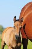 Foal λίγες ημέρες παλαιές Στοκ Φωτογραφίες