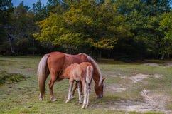 Foal απορροφώντας γάλα από τη φοράδα Στοκ Εικόνες