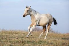 Foal αλόγων χρωμάτων που τρέχει στην ελευθερία μόνο Στοκ εικόνες με δικαίωμα ελεύθερης χρήσης