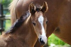 Foal αλόγων Στοκ Εικόνες