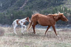 Foal βουνό αλόγων Στοκ φωτογραφίες με δικαίωμα ελεύθερης χρήσης