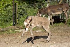 Foal γαιδάρων μωρών Στοκ φωτογραφία με δικαίωμα ελεύθερης χρήσης