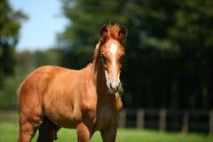 Foal κάστανων Στοκ Φωτογραφίες