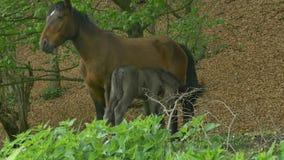 Foal και φοράδα στο δάσος απόθεμα βίντεο