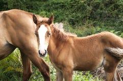 Foal και φοράδα ανάμεσα στην πράσινη βλάστηση Στοκ Εικόνες