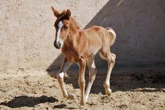 foal καλπάζοντας νεολαίες Στοκ φωτογραφία με δικαίωμα ελεύθερης χρήσης