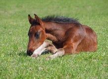 Foal κόλπων έχει ένα υπόλοιπο Στοκ φωτογραφία με δικαίωμα ελεύθερης χρήσης