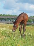 Foal κόλπων σε ένα λιβάδι Στοκ φωτογραφίες με δικαίωμα ελεύθερης χρήσης
