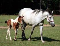 foal λευκό φοράδων στοκ εικόνες