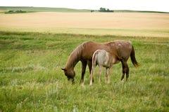 foal λιβάδι φοράδων στοκ εικόνες