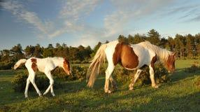 foal μετά από τη δασική μητέρα νέα Στοκ φωτογραφία με δικαίωμα ελεύθερης χρήσης