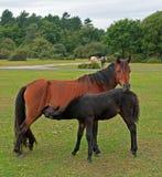 foal μητέρα Στοκ Φωτογραφίες